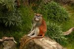 Saturated Patas Monkey With Long Tail Sits On Rock Near Lush Vegetation animaux provenant de Singe Patas