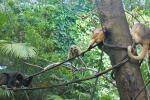 Several Primates On The Ropes in Simulated Rainforest animaux provenant de Singe Howler