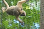 Inverted Howler Monkey Clings To Wire Mesh animaux provenant de Singe Howler