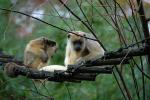 Two Light-Colored Howler Monkeys On Rope Bridge in Dutch Zoo animaux provenant de Singe Howler