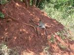 Wild Green Monkey Climbs Red Dirt Bank in Tanzania animaux provenant de Singe vert