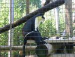 Profile View of White, Black and Brown Diana Monkey Sitting in Cage animaux provenant de Singe Diana
