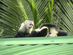 Capuchin Monkey Opens Mouth, Shows Teeth, to Threaten Conspecific animaux provenant de Singe Capuchin