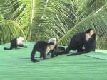 About Five Capuchin Monkeys Hanging Out On a Roof animaux provenant de Singe Capuchin