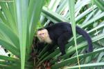 Soft-Looking Capuchin Monkey Climbs on Palm Fronds animaux provenant de Singe Capuchin