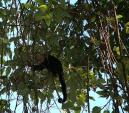 Little Capuchin Monkey Looks Intently At Something in Vines animaux provenant de Singe Capuchin