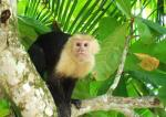 Cute Black and White Capuchin Monkey On Mottled Tree Looks Right At Camera animaux provenant de Singe Capuchin