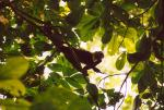 Hiker Captures Capuchin Monkey in Costa Rican Treetops, Framed by Leaves animaux provenant de Singe Capuchin