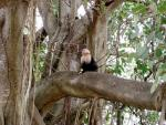 (Wide) Capuchin Monkey On Horizontal Tree Branch Looks Up animaux provenant de Singe Capuchin