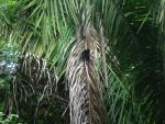 Wide Shot of Capuchin Monkey Climbing Huge Palm Tree animaux provenant de Singe Capuchin