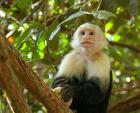 Beautiful Shot of Capuchin Monkey In tree With White Head and Shoulders animaux provenant de Singe Capuchin
