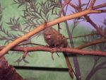 Pygmy Marmoset in Indoor Enclosure Stands on Branch With Mural in Background animaux provenant de Ouistiti