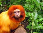 Close-Up of Cute Primate With Orange Fur and Mane Like a Lion animaux provenant de Ouistiti