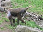 Mandrill With White Butt and Belly Paws At Ground animaux provenant de Mandrillus