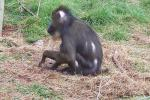 Mandrill Monkey Seedn From Side On Patch Of Dead Grass animaux provenant de Mandrillus
