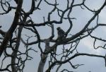 Wide Shot of Langur in Twisty Dead Tree With Blue Sky Background animaux provenant de Langur