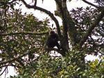 Wide Shot of Dark Colored Langur Monkey in Lush Green Tree animaux provenant de Langur