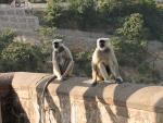 Two Light-Colored Langur Monkeys With Dark Faces Sit on animaux Near Slope animaux provenant de Langur
