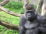 Thoughtful Looking Gorilla Sits in Front of Dead Tree animaux provenant de Gorille