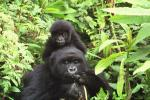 Alert Baby Gorilla rides on Shoulders of Mother animaux provenant de Gorille