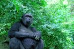Female Gorilla Sits in Bush, Holds Tummy animaux provenant de Gorille