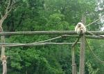 Wide Shot of Light-Colored Gibbon in Jungle Gym Zoo Enclosure animaux provenant de Gibbon