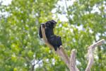 Big Black Siamang Sits in Tree Fork, Looks Ahead animaux provenant de Gibbon