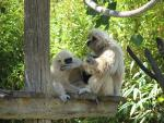 Creamy Young Gibbon Sits With Adult, Covers Mouth With Arm animaux provenant de Gibbon