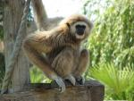 Gibbon With one hand on Rope and One On Board and Penetrating Look On Face animaux provenant de Gibbon