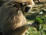 White Handed Gibbon Holds Tasty Greens in Right Hand, Yum! animaux provenant de Gibbon