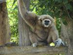 Gibbon, White-Handed, with Beady Little Eyes animaux provenant de Gibbon