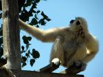 White-Handed Gibbons, On edge of Platform, Looks Over Shoulder animaux provenant de Gibbon