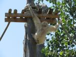 Back View of Off-White Gibbon Hangs From Platform On Pole animaux provenant de Gibbon