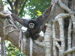White-Faced Gibbon In Tree With Arms Up On Branches animaux provenant de Gibbon