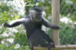 Colobus Sits With Arms Spread Wire In Front of Chicken Wire animaux provenant de Colobus
