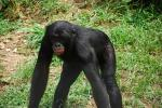 Thin-Limbed Bonobo With Red Lips, Wet Thighs animaux provenant de Bonobo