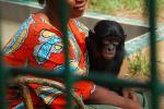 Baby Bonobo Hangs on Sweetly To Woman animaux provenant de Bonobo