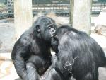 Two Bonobos Sit Facing Each Other animaux provenant de Bonobo