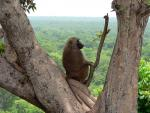 Wild Baboon Sits in Tree With Jungle Canopy in Background animaux provenant de Babouin