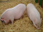 Perfectly Clean Pink Pigs on Straw Bedding animaux provenant de Cochon