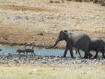 Two Elephants Chase Two Wild Boars By Creek animaux provenant de Cochon