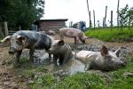 Three Pigs Enjoy Mud Bath in Sty With Many Pigs animaux provenant de Cochon