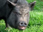 Squinting Ugly Pig With Gaping Mouth animaux provenant de Cochon