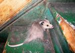 Possum With Naked Tail on Staircase With Peeling Green Paint animaux provenant de Opossum