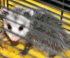 Cute Possum With White Face Looks Through Cage Bars animaux provenant de Opossum