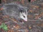 Close Up Of Pretty Possum animaux provenant de Opossum