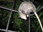 Opossum With Long Tai, Seen From Below, l Climbs on Metal Frame animaux provenant de Opossum