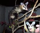 Picture of Brazillian Opossum animaux provenant de Opossum