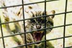 Fierce Ocelot Hisses Through Bars of Cage animaux provenant de Ocelot