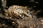 Sweet Napping Curled-Up Ocelot animaux provenant de Ocelot